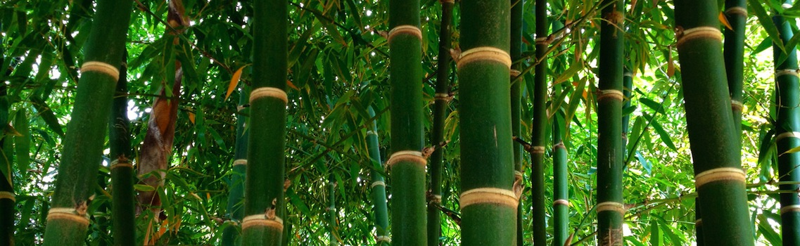 Bamboo Plant Culms - Shawn, Northeastern Ontario