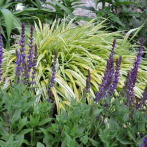 Hakonechloa macra ' Aureola' Ornamental grass