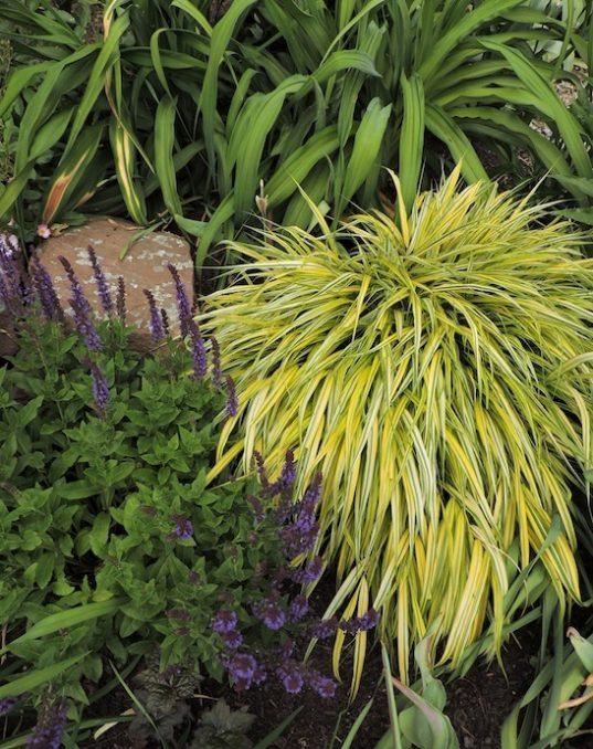 Hakonechloa macra 'Aureola' in the garden