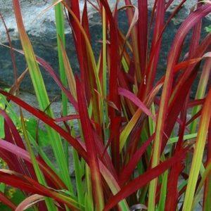 Imperata cylindrica Red Baron foliage 2 1 300x300 - Imperata cylindrica 'Red Baron'
