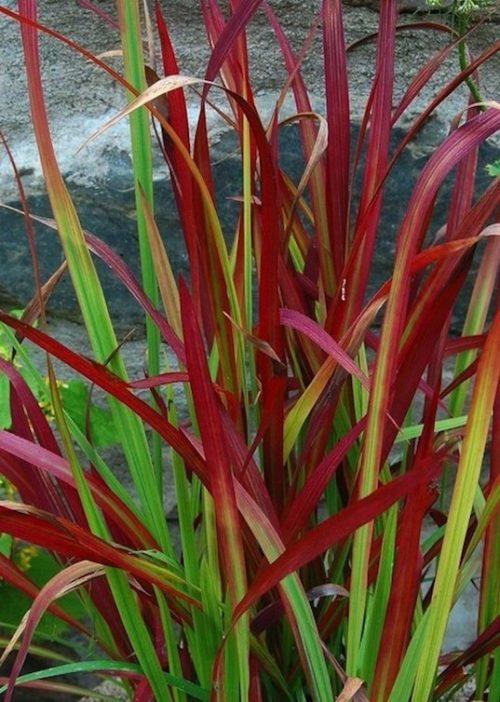 Imperata cylindrica Red Baron foliage 2 1 500x702 - Imperata cylindrica 'Red Baron'