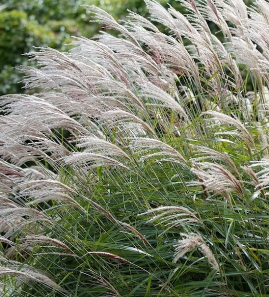 Maiden Grass Miscanthus sinensis 'Gracillimus'