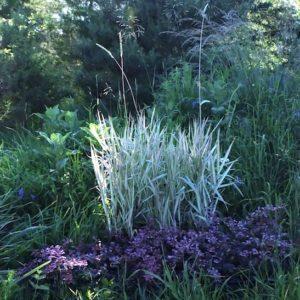 Shop Phalaris arundinacea 'Feesey' Canada, Buy Tri-colour Ribbon Grass, Ornamental Grasses Canada