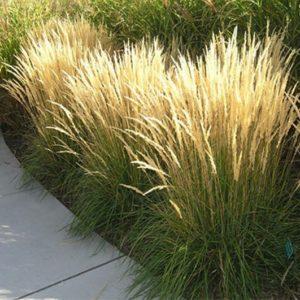 karl foerster feather reed grass3 300x300 - Calamagrostis acutiflora 'Karl Foerster'