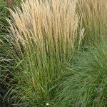 Karl Foerster Feather Reed Grass | Calamagrostis acutiflora 'Karl Foerster'