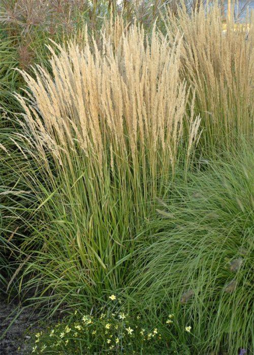 Karl Foerster Feather Reed Grass   Calamagrostis acutiflora 'Karl Foerster'