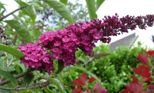 Buddleja davidii Royal Red flower