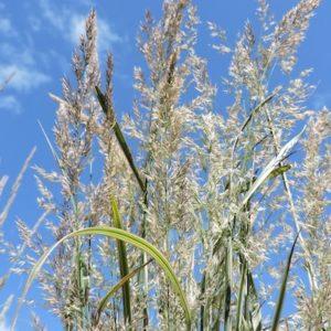 Shop Calamagrostis Acutiflora 'Eldorado' grass
