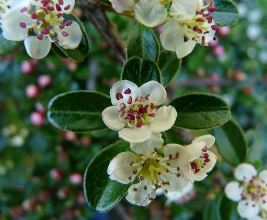 Cotoneaster dammeri, Bearberry Cotoneaster