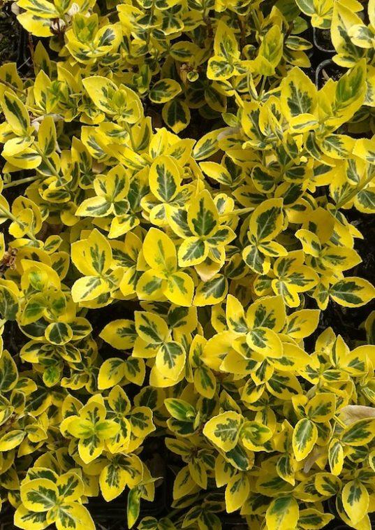 Euonymus fortunei 'Emerald 'N' Gold' foliage