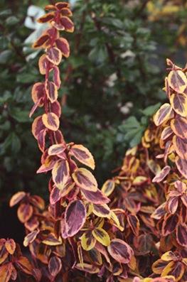 Euonymus fortunei 'Emerald 'N' Gold' Gold Wintercreeper