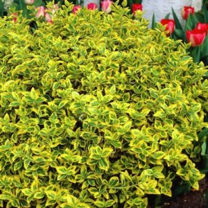 Euonymus fortunei 'Emerald 'N' Gold' for sale Canada, Emerald 'n Gold Wintercreeper for sale Canada, shop Euonymus fortunei 'Emerald 'N' Gold', shop Emerald 'n Gold Wintercreeper Canada, buy Euonymus fortunei 'Emerald 'N' Gold', buy Emerald n' Gold Wintercreeper Canada, Ornamental shrubs for sale Canada, Buy Ornamental shrubs Canada, Shop Ornamental shrubs Canada, Ornamental shrubs for sale Toronto, Buy ornamental shrubs Toronto, Shop ornamental shrubs Toronto, Ornamental shrubs for sale Ottawa, Buy ornamental shrubs Ottawa, Shop ornamental shrubs Ottawa, Ornamental shrubs for sale Montréal, Buy ornamental shrubs Montréal, Shop ornamental shrubs Montréal