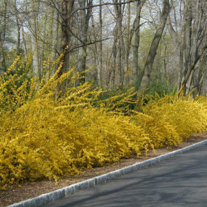 Forsythia x intermedia in a border setting