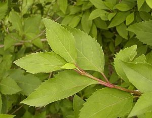 Forsythia x intermedia - Border Forsythia