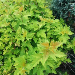 Physocarpus opulifolius 'Nugget' habit