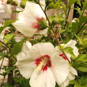 Hibiscus syriacus 'Red Heart' Rose of Sharon Tree