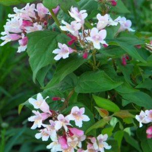 Kolkwitzia amabilis 'Pink-Cloud'