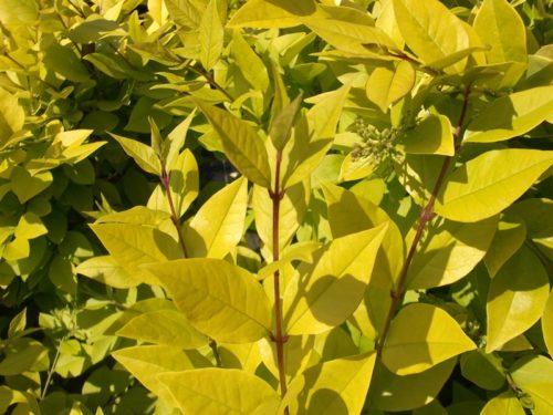 Golden privet - Vibrant foliage of Ligustrum vicaryi