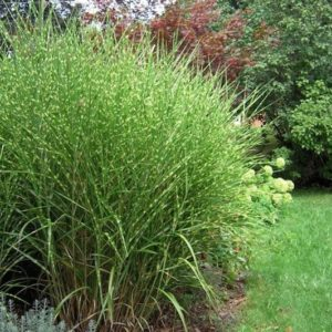striped foliage of Little Miscanthus sinensis 'Gracillimus'