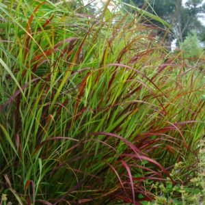 Red Switch Grass - Panicum virgatum 'Shenandoah' in the garden