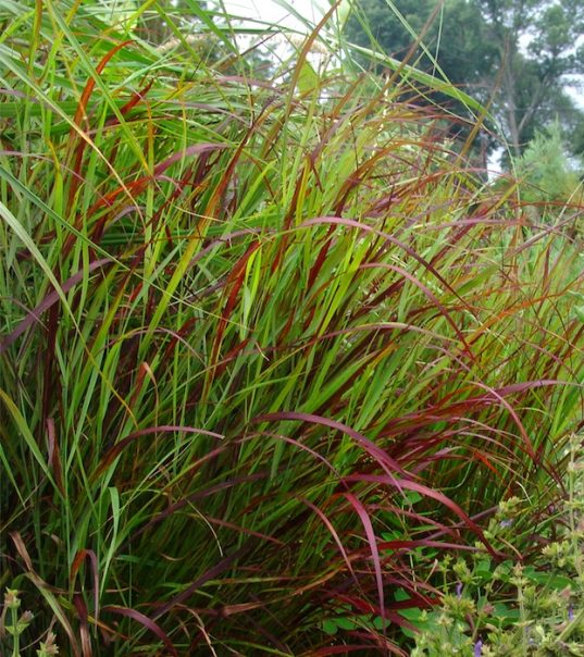 Red Switch Grass - Panicum virgatum 'Shenandoah' in the garden