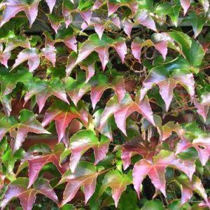 Parthenocissus tricuspidata 'Veitchii fruits foliage