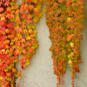 Boston Ivy - Parthenocissus tricuspidata 'Veitchii'