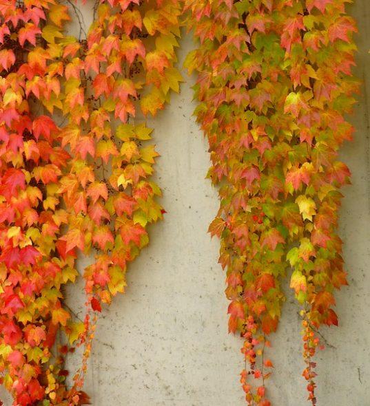 Boston Ivy - Parthenocissus tricuspidata 'Veitchii'