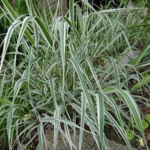 Phalaris arundinacea 'Picta' habit