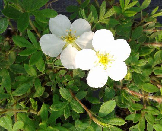 Potentilla fruticosa 'Abbotswood' flower in bloom