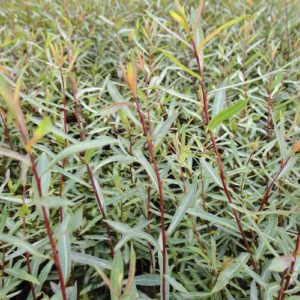 Salix purpurea 'Nana' new shoots