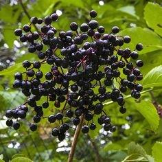 Sambucus canadensis 'Aurea' fruit