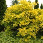 Golden Elder - Sambucus canadensis 'Aurea' habit