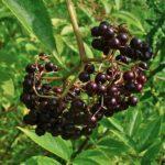 American Elderberry - Sambucus canadensis fruit