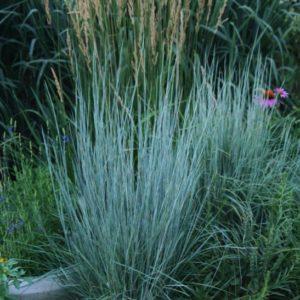 Schizachyrium scoparium - A young Little Bluestem in bloom