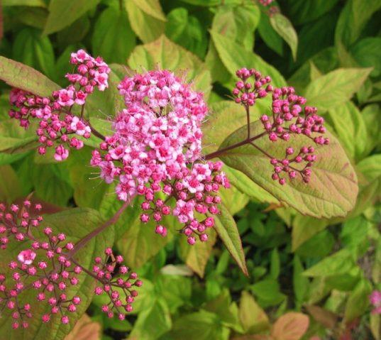 Spiraea japonica 'Macrophylla' - red tips spirea