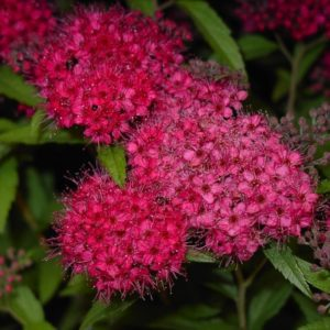 Red Spirea - Spiraea japonica 'Anthony Waterer' flowers