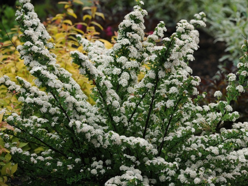 Spiraea nipponica Snowmound - 11 Must Have Spirea Shrubs – Bring Dramatic Impact to the Garden