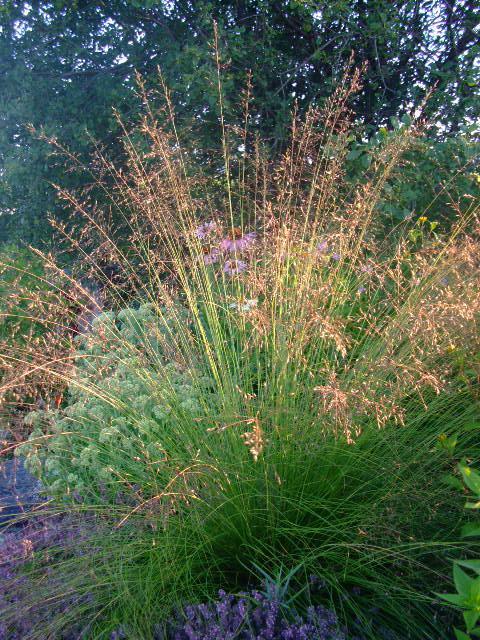 Prairie dropseed in bloom - Sporobolus heterolepis