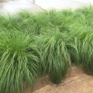 Prairie dropseed planting