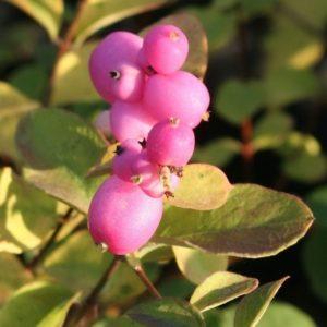 Symphoricarpos x doorenbosii 'Marleen' flower