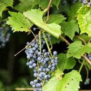 Vitis riparia fruit 2 2 300x300 - Vitis riparia
