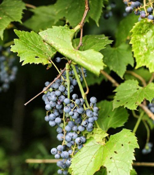 Vitis riparia fruit 2 2 500x569 - Vitis riparia