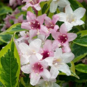 Weigela florida 'Variegata' - Variegated Weigela