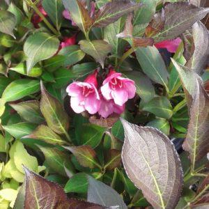 Dwarf Weigela -Weigela florida 'Purpurea Nana'