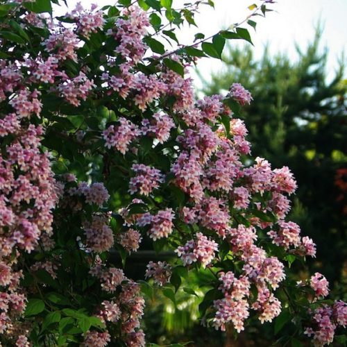 Kolkwitzia amabilis 'Pink Cloud' Beautybush 'Pink Cloud'