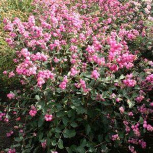 marleen snowberry 300x300 - Symphoricarpos x doorenbosii 'Ariso' MARLEEN
