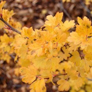 ribes alpinum fall 300x300 - Ribes alpinum