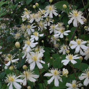 Clematis 'Paul Farges' SUMMER SNOW - Clematis fargesioides 'Summer Snow' in full bloom