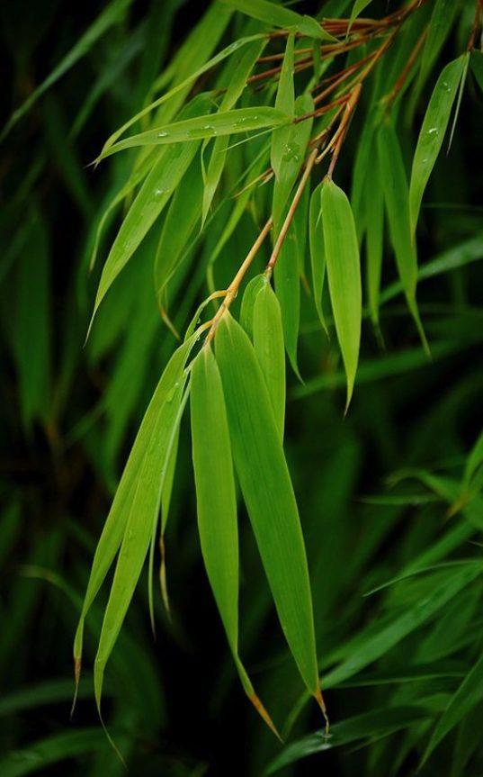 Sunset glow bamboo - Fargesia dracocephala 'Rufa'